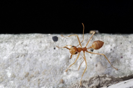 A weaver ant is standing on the floor