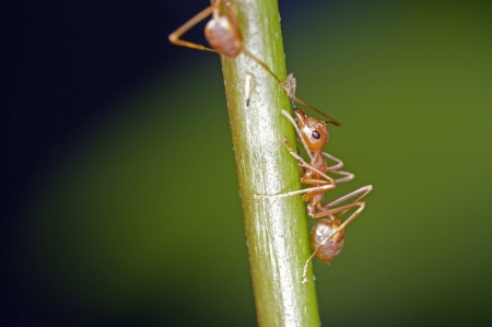aphid: Weaver ants are moving aphid on the tree branch