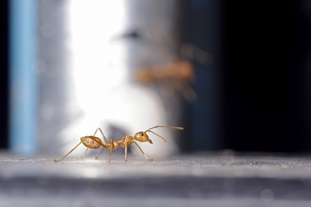 formicidae: A weaver ant is walking on the floor Stock Photo