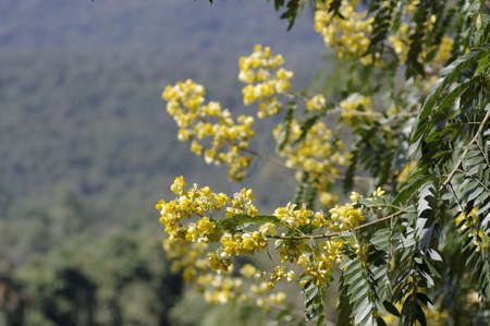 flowers of the American Cassia in the park