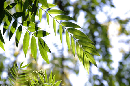 Green leafs of the American Cassia under the sun light Stock Photo