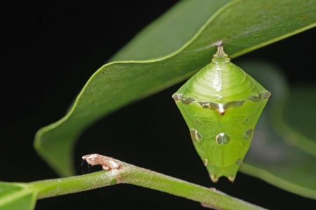 A green pupa of butterfly is hanging under the leaf