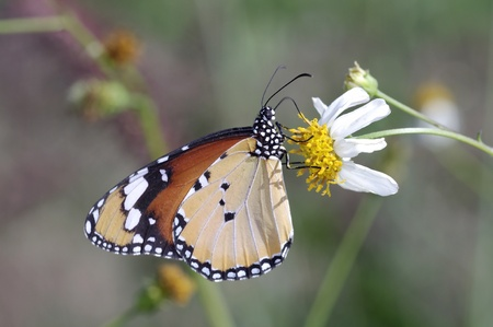 A butterfly is sucking nectar from wild daisy flower photo