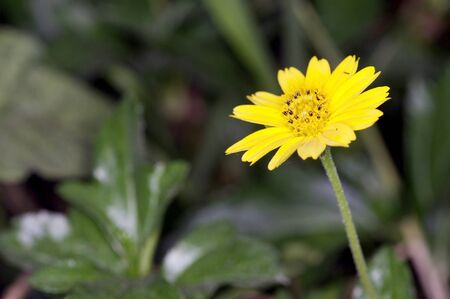 A Singapore daisy in the back yard