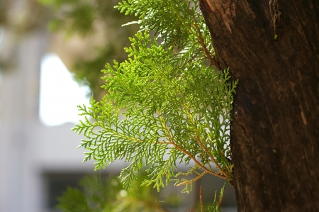 A leaf of the pine tree