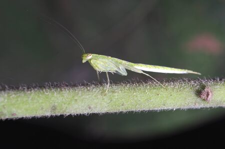 A larva of the mantis on the tree branch Stock Photo