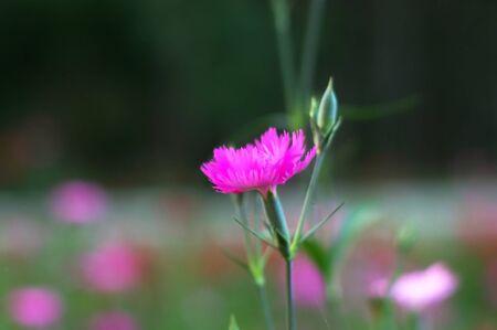 pink Carnation flower in the flower garden