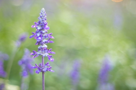 violet lavender flowers in the green garden photo