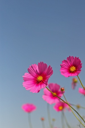 pink cosmos flowers under the clear blue sky