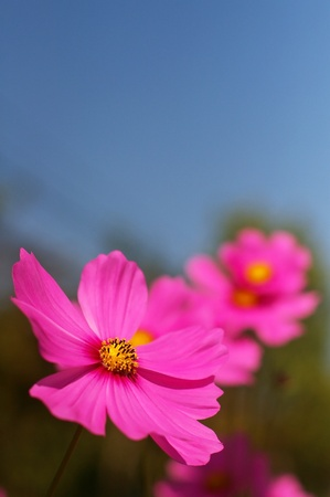 pink cosmos flower under the blue sky photo