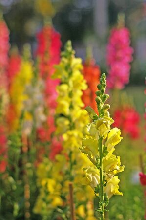 snapdragon: snapdragon flowers in the garden Stock Photo