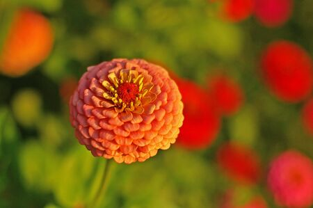 orange dahlia flower in the garden photo