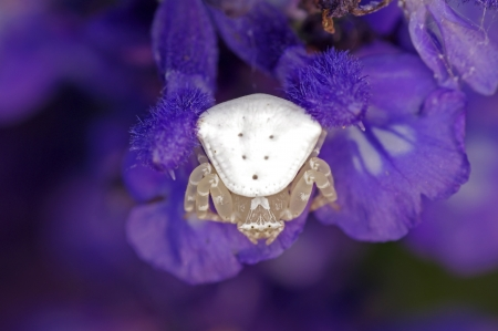 flower spider: flower spider is standing on violet lavender flower
