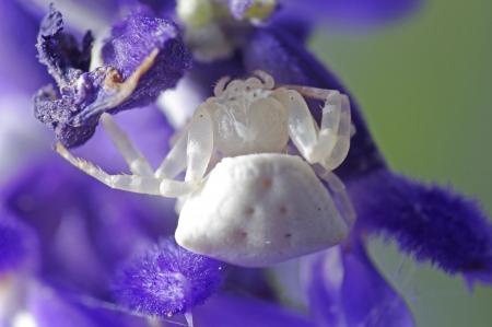 flower spider: flower spider is walking on violet lavender flower