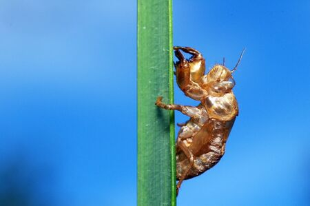 A cicadas case on the grass leaf in the forest photo