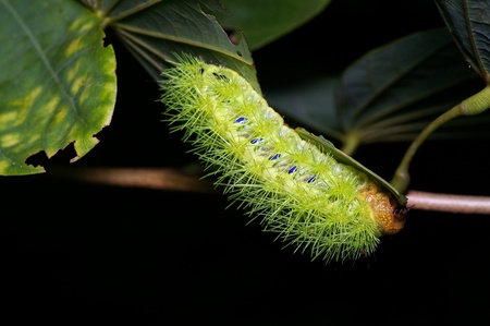 A green leaf eating caterpillar is eating tree leafs Stock Photo - 17973401