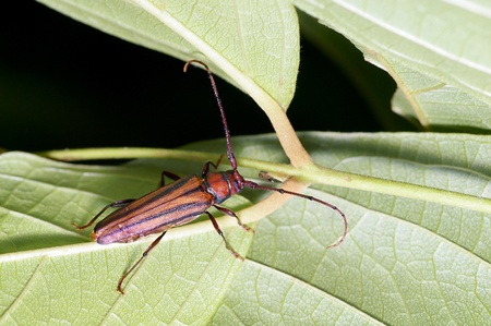 long horn beetle: long horn beetle is on the green leaf