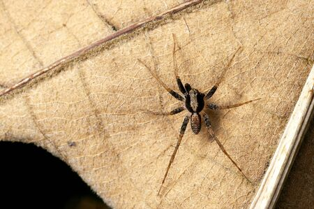 The ground spider with seven legs on the fallen leaf Stock Photo