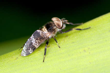 horse fly: A horse fly on the green grass leaf