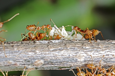 formicidae: weaver ants are carrying the larva to the nest Stock Photo