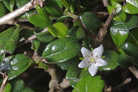 Small flower of the Fukien tea in the garden