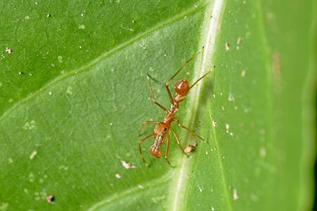 arachnida: close up of the ant spider is staying inside the net on the tree leaf