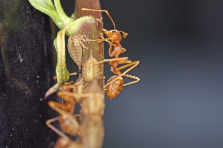 formicidae: weaver ants are taking care of aphids