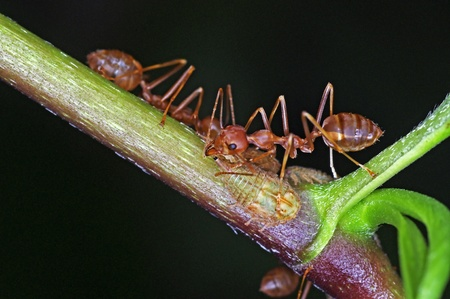 weaver ants are taking care of aphids photo