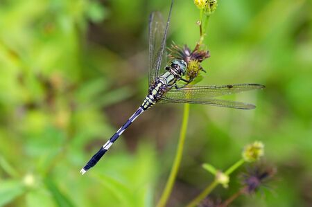 skimmer: A slender skimmer catch in the branch of weed