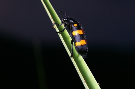 bristle: A bristle beetle is climbing  grass in the evening