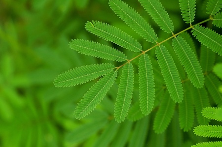 A leaf pattern of the mimosa photo
