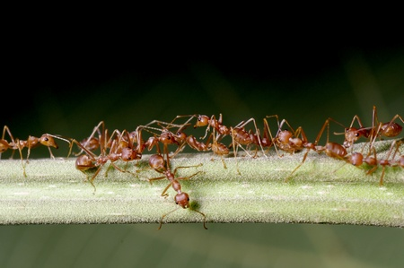 A group of weaver ants are moving across the tree branch Stock Photo