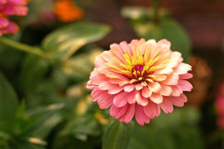 everybody: Poorhouse flower or Everybody flower in the garden