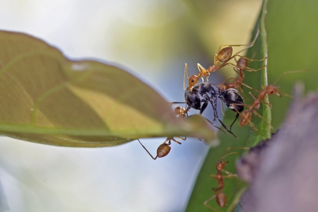 weaver ants fight with black ant on the tree leaf photo