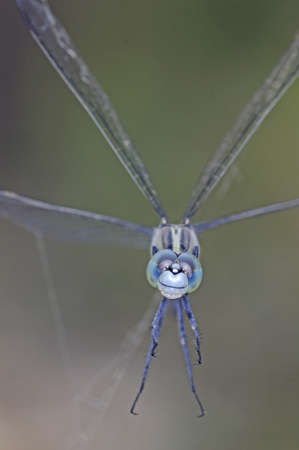 skimmer: Ground Skimmer dragonfly is trapped by spider web