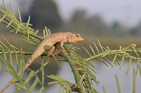 chordates: a lizard is staying on the mimosa tree
