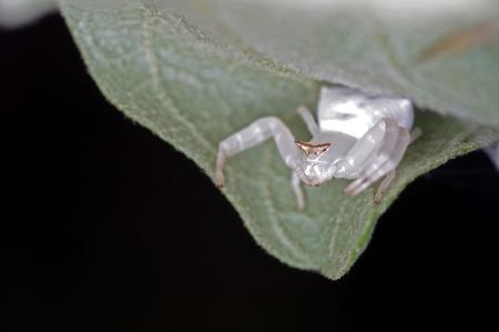 flower spider: flower spider is staying on the leaf