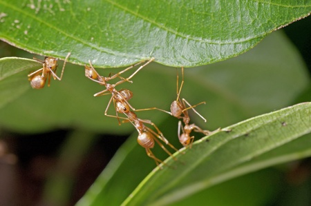 weaver ants are building a nest from joining tree leafs photo