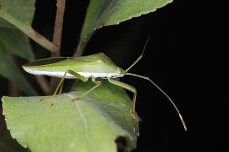 green shield bug: A green shield bug is on the tree leaf
