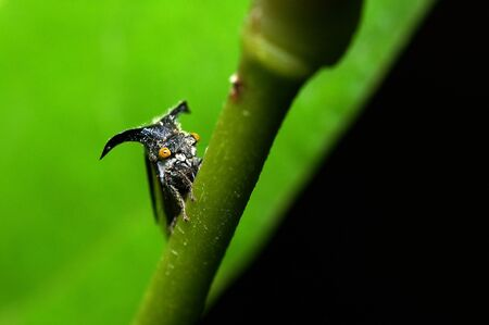 treehopper is moving on the tree branch photo