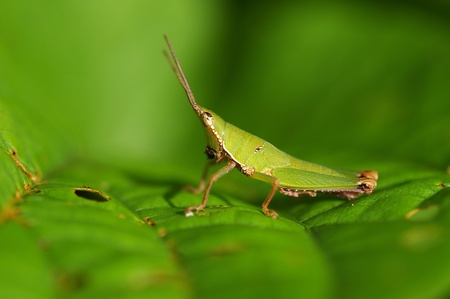 short horned grasshopper is staying on the tree leaf Stock Photo