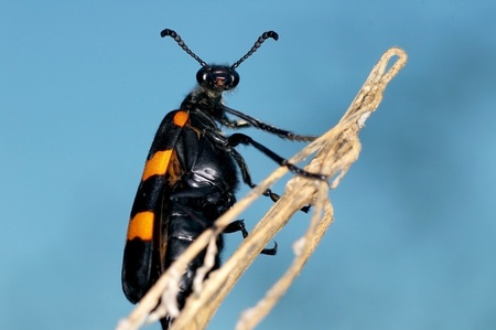 bristle: bristle beetle is climbing a plant shoot Stock Photo