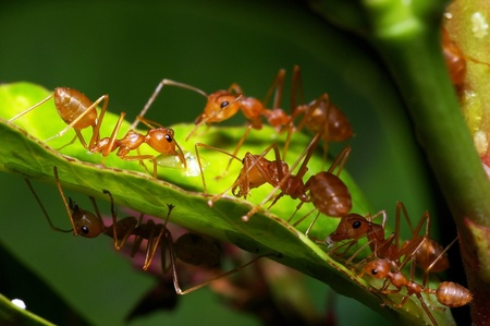 weaver ant are taking care the aphids