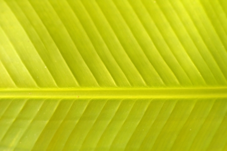 texture of the banana leaf in the tropical forest photo