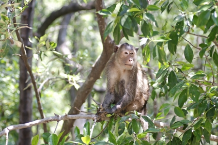 Crab-eating macaque in the mangrove forest Stock Photo