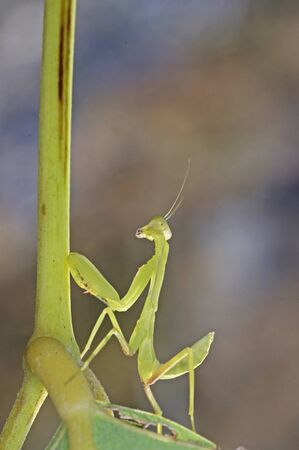 larva mantis is moving on the tree branch photo
