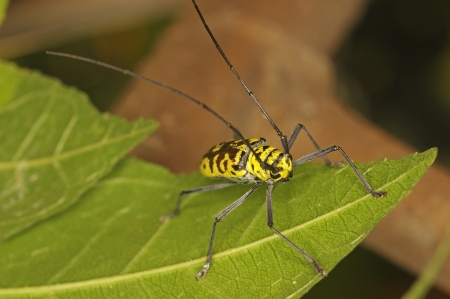 longhorned: long-horned beetles is staying on the tree leaf