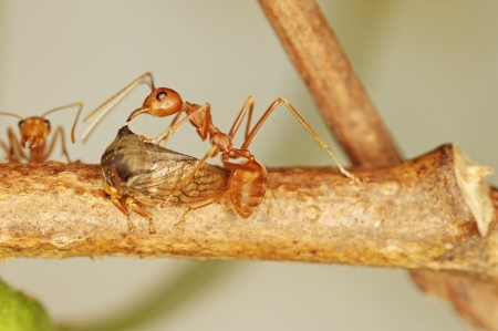 weaver ants are taking care aphid