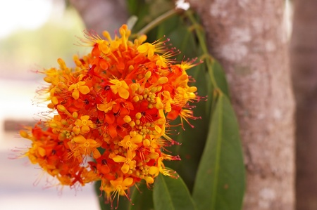flowers of the Asoka tree in the garden Stock Photo