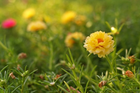 sun rose of portulaca in the green garden Stock Photo